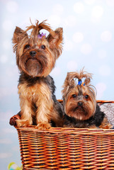 two Yorkshire dogs in wicker basket