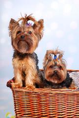 two Yorkshire dogs in wicker basket