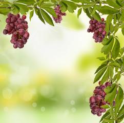 weinblätter mit Weintrauben