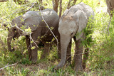 young african elephants