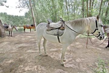 Caballo de montar, equus ferus caballus, Valdastillas, España