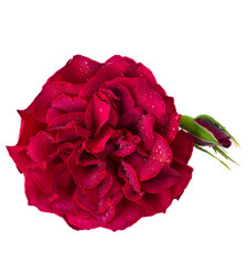red rose with bud