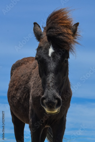 spanish mustang wild horse in north carolina