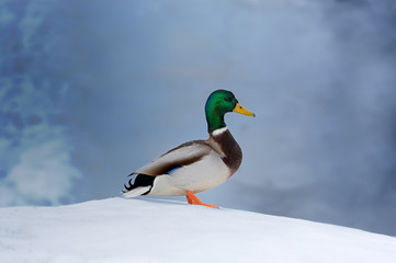 Mallard Duck on Snow
