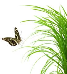 papillon sur brin d'herbe, fond blanc