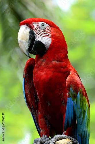 Closeup of a beautiful red and blue macaw, macaw bird with nice