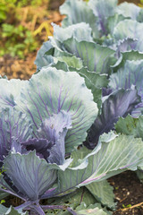 Red Cabbage Plants in a Vegetable Garden Patch