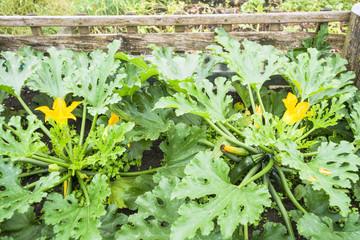 Flowering Zucchini