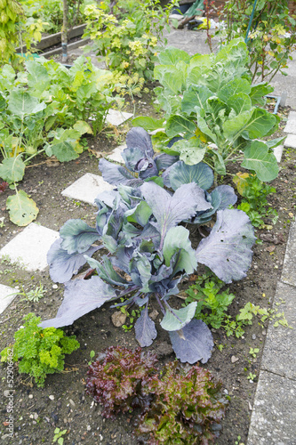 White and Red Cabbage Plants in a Vegetable Garden Patch