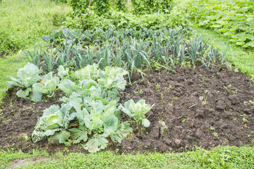 White Cabbage Plants in a Vegetable Garden Patch