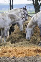 Herd of horses eating hay