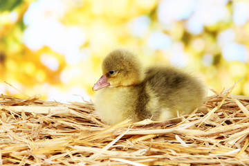 Little duckling on straw on bright background