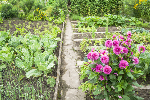 Dahlias in a Vegetable Garden