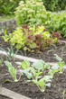 White Kohlrabi Plants in a Vegetable Garden Patch