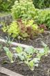 White Kohlrabi Plants in a Vegetable Garden Patch
