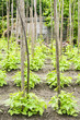 Bean Plants in a Vegetable Garden Patch
