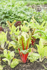 Red Chard Plants in a Vegetable Garden Patch