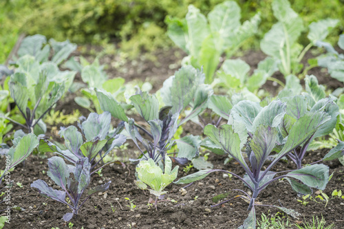 Red Kohlrabi Plants