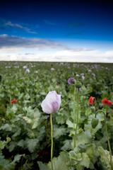 purple poppy flower field