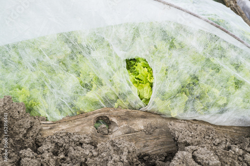 Endive Lettuce Under Protection Foil