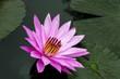 Delicate Pink Lotus.