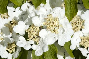Viburnum plicatum variety 'Mariesii'