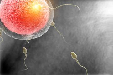 Fecundación humana, óvulo