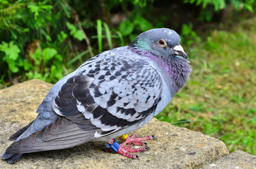A homing racing pigeon