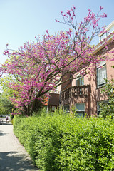 Judas tree or Cercis siliquastrum in spring