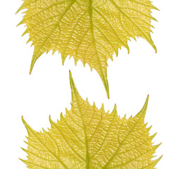 Two vernal leafs of Common Grape Vine