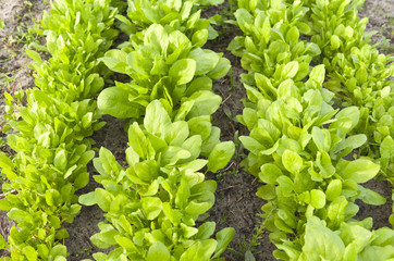 Bed with leaf spinach in the vegetable garden.