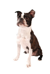 Boston Terrier Dog Standing