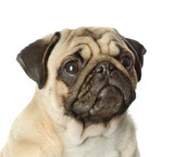 head pug puppy closeup. isolated on white background