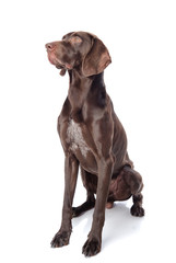 German Shorthaired Pointer Kurzhaar looking away and up.isolated
