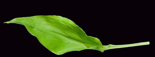 Baerlauch, Allium ursinum, Blatt