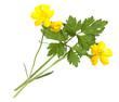 Hahnenfuss; Ranunculus acris