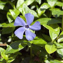 Kleines Immergruen, Vinca minor