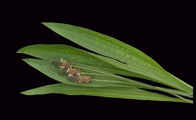 Spitzwegerich, Plantago Lanceolata