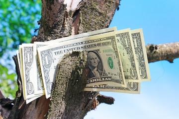 Money tree and blue sky.
