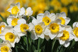 Close up shot of many white Daffodils
