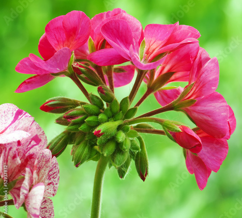 Red pelargonium flower