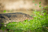 The close up portrait of Water monitor or  Varanus salvator poster