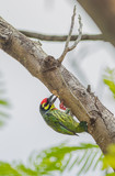 Coppersmith Barbet bird building its home