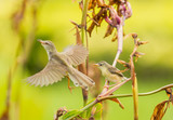 White-browed Prinia start to fly with her baby in background poster