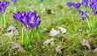 Purple flowering crocuses in the spring season
