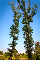 two poplars