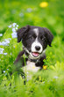 canvas print picture - Border Collies black puppy