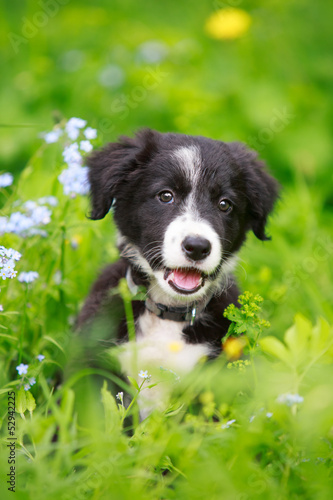 canvas print picture Border Collies black puppy