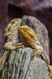 A Couple of Sailfin Lizard
