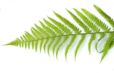 Wurmfarn, Dryopteris filix-mas